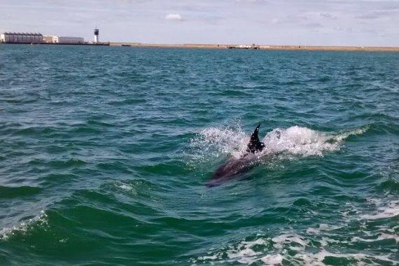 Dauphin dans la rade de Cherbourg